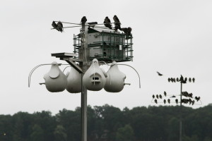 Purple Martin Colony Photo by Penny Briscoe