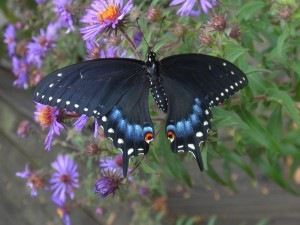 Black Swallowtail on Aster