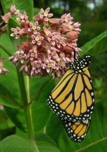 Monarch at Common Milkweed